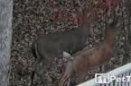 Young Buck Meets Fake Deer