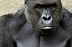 Why Is the Boy's Father's Criminal Past Relevant in Gorilla's Death?