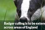 Badger culling is to be extended across areas of England