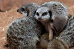 Meerkats More Likely to Murder Each Other Than Humans Are