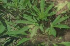 Regular Marijuana Use May Affect Vision