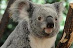 Study: Cars Are A Leading Factor In Koala Deaths