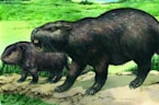 Study Suggests Many Prehistoric Giant Rodent Species Are Misclassified