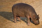 Watch Fiona the Baby Hippo Take Her First Steps and Squeal Forever