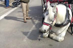 Carriage Horse Collapses in Central Park, Animal Rights Group to Call for Investigation