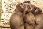 Scientists Are Helping to Crack Down on Thieving Baboons
