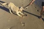 Golden Retriever hates using leash for walks