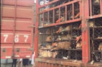 Activists Rescue Nearly 1,000 Dogs and Cats Heading To Slaughterhouses In China