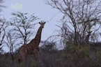 Are Giraffes The First To Get Struck By Lightning?