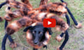 YouTube Top 10 2014: Polnischer Spinnenhund vor iPhoneBiege (Videos)