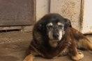 人間でいうと164歳!世界一の長寿犬マギー、30年の生涯を終える【動画】