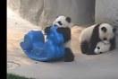 赤ちゃんパンダがおもちゃのポニーに乗って遊んでて可愛すぎる【動画】