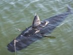 Navy drone swims like a shark...