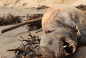 Mystery creature with claws and pointy teeth found on California beach