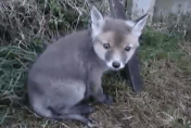 Baby fox with head stuck in tin can 'thanks' man for saving him