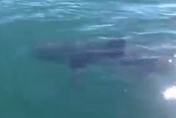 Is that a great white shark filmed off Cornwall?