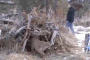 Man sets up fox trap and catches mountain lion (video)