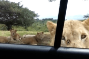 Family's terror as lion opens car door on safari (video)