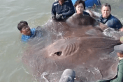 Enormous 14ft stingray found in Thailand