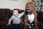 Toddler plays with 12 stone pit bull dog named 'Hulk'