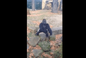 Zoo gorilla throws rock at Irish tourists (video)