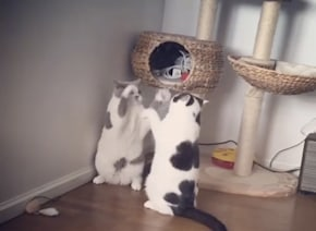 2匹の猫が立ち上がって喧嘩!世界一ゆるいキャットファイトが可愛すぎるwww【動画】