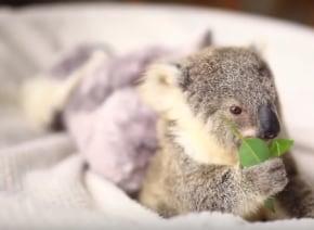 これは確実にキュン死レベル!コアラの赤ちゃんが愛くるしすぎる動画が話題に