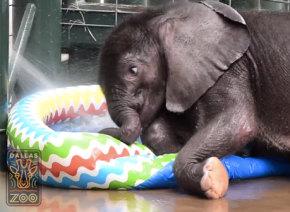生後2ヶ月の赤ちゃんゾウ、子ども用プールで水浴びしてはしゃぎまくる姿が可愛すぎる【動画】