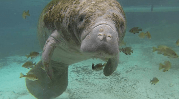 WATCH: Hundreds of manatees gather for warmth in Florida springs