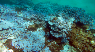 'Super coral' could ward off devastating effects of warming oceans