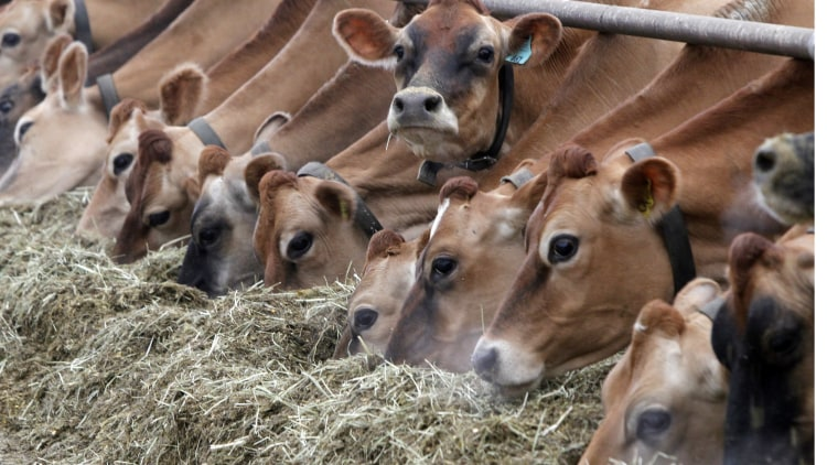 Dairy cows eat food and produce lots of methane gas