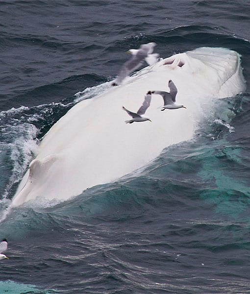 Moby Dick whale - Wikipedia