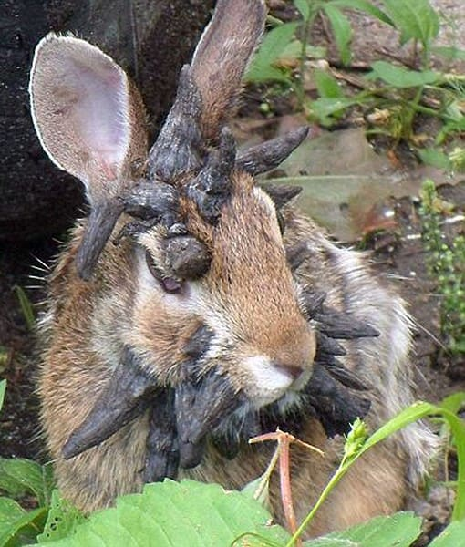 Are Jackalopes Real Creatures