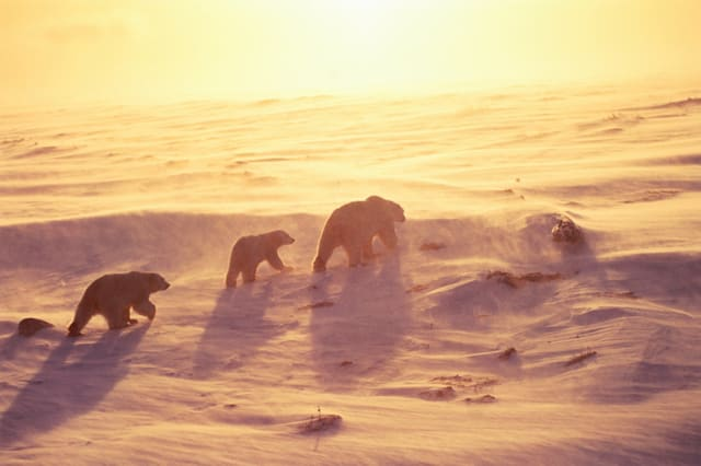 Beautiful photos of polar bears and their cubs