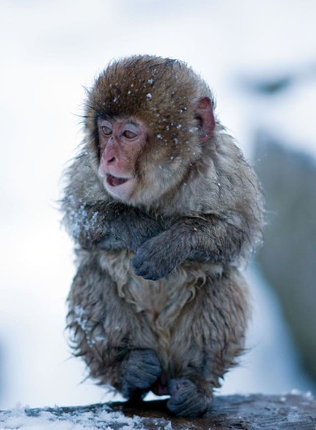 Beautiful images of baby snow monkeys