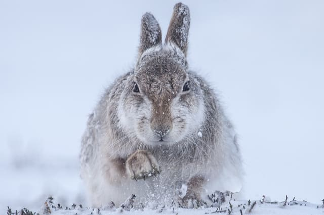 Snow Hare by Rosamund Macfarlane, UK