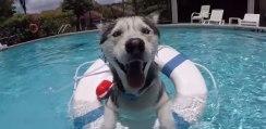 めっちゃ気持ちいいワン! ハスキー犬がプールで気持ちよさそうに泳いで楽しそう!