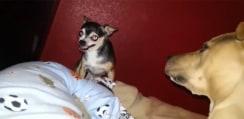 自分よりも何倍も大きな犬にケンカを売ったチワワ、衝撃の展開にwww【動画】