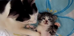母ニャンコに寄り添われ安心しきってすやすや眠る子ニャンコが天使すぎる【動画】