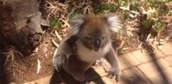 仲間に木から落とされたコアラが癇癪起こしてて面白すぎるwww【動画】