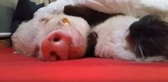 ニャンコから「肉球ナデナデ」されて熟睡するブタさんが可愛すぎるwww【動画】