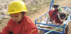 仲良しパグちゃん一家を三輪車で送り迎えする男の子が可愛すぎるwww【動画】