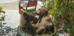 庭を覗くと・・・小熊2匹が壺でイチャイチャ水浴びしてた!【動画】
