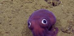 まるでぬいぐるみ!深海でおもちゃのような紫のイカが発見される【動画】