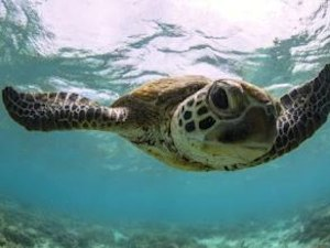 Turtle Egg Laying Season At Mon Repos Beach