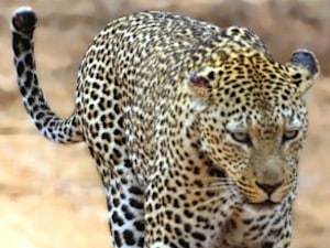 2 Days After Leopard Attack, Bengaluru Residents Spot Another One Near Same School