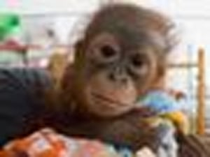 Hunters Shot This Baby Orangutan, Then Left Him For Dead