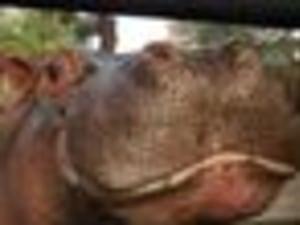 Beloved Hippo Gustavito Fatally Beaten In El Salvador Zoo
