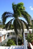 El Patio Motel - Key West, Florida - Royal Palm in courtyard (view from roof deck)
