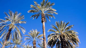 Palm Trees in Palm Springs